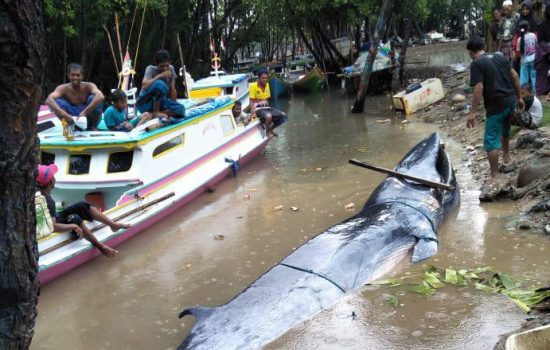 Ikan Paus Berbobot Satu Ton Tersangkut Jaring Nelayan di Sinjai
