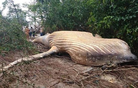 Bangkai Paus yang Terdampar di Wilayah Hutan Amazon