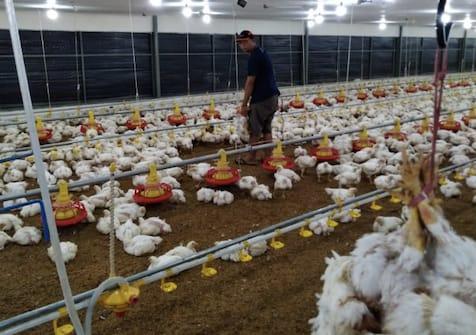 Kampus II Polbangtan Bone Panen Perdana 20 Ribu Ayam