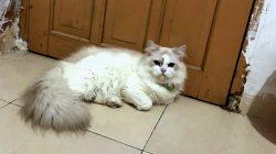 Kasihan, Kucing Lucu Berkalung Hijau Hilang, Ada Yang Tahu?