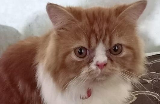 Oh Kodong, Kucing Imut Ini Hilang di Lonrae