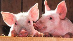 Corona Belum Selesai, Jenis Flu Babi Diisukan Jadi Pandemi Baru