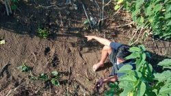 Diduga Dibunuh, Pria di Bone Ini Ditemukan Tewas di Pinggir Sawah