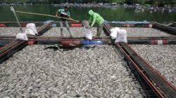 Ratusan Ton Ikan Mati Disamosir, Kok Bisa?