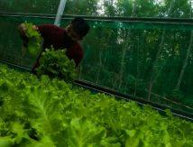 Pemuda di Takalar Bertani di Tengah Pandemi, Selada Jadi Primadona