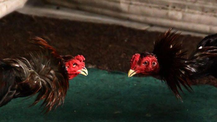 Gerebek Arena Judi Sabung Ayam di Sinjai, Polisi Amankan 4 Orang