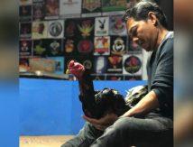 Turnamen Ayam Laga Nasional, Wakil Bone Kirim Ayam Sakti